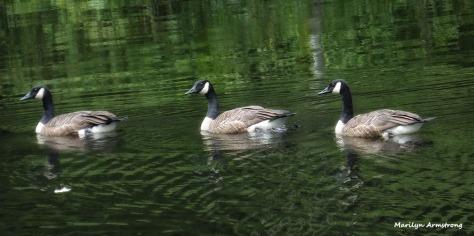 72-Geese_Long-29